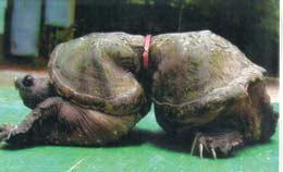 Deformed sea turtle